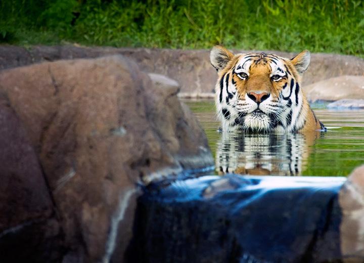 Slawson Family Tiger Trek- Sedgwick County Zoo